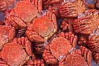 Bundles of crabs on ice