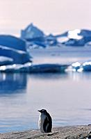 The Gentoo Penguin Pygoscelis papua inhabits sub antarctic regions and there are large colonies on the Falkland Islands,South Georgia and Kerguelen Is...