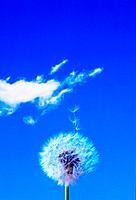 Dandelion and seedlings floating in the air