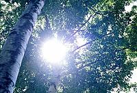 Sun through the trees of a forest. Hokkaido, Japan