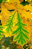 Some autumn leaves of an oak
