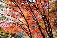 Forest scene with red autumnal leaves