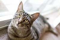A gray tabby housecat