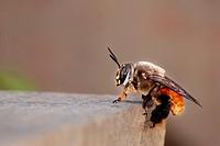 Female of Oil bee, Centris sp , Centridinae, Apidae, Hymenoptera