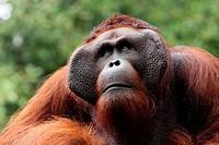 Ritchie lives in Semengoh Wildlife Centre, Kuching, Sarawak, Malaysia.