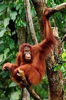 Orangutans. Semengoh Wildlife Centre, Sarawak, Malaysia.