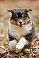 Australian Shepherd dog _ puppy _ running