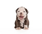 English Bulldog _ puppy _ sitting