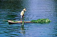 Man on bamboo raft. On river. Using pole to drag green weed plants from water.