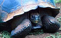 Galapagos tortoise Geochelone elephantopusi Santa Cruz Island Ga
