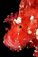 Pink Leaf Scorpionfish, Taenianotus triacanthus, Tulamben, Bali, Indonesia