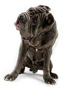 Neapolitan Mastiff portrait sitting