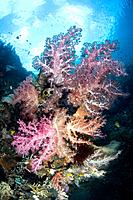 Soft Coral Reef at Raja Ampat, Dendronephthya sp., Misool, West Papua, Indonesia