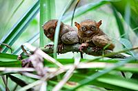 two wild tarsiers tarsius sitting on a branch of a tree at the tarsier research and development center, island of bohol, philippines