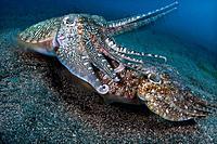 Mating Broadclub Cuttlefish, Sepia latimanus, Komodo, Indonesia