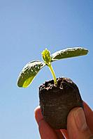 a hand holding a cucumber seedling against a blue sky background