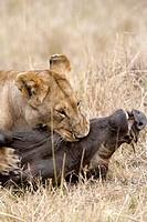 Lioness killing a warthog in the Masai Mara