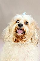 a white dog with a blue bow in it´s hair looking upwards, portland oregon united states of america