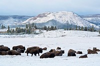 Buffalo bison herd in meadow at dawn after fall storm, near Lower Geyser Basin, Yellowstone National Park, Wyoming