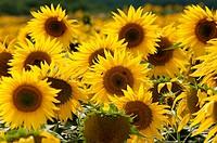 Sunflower field, East Sussex, England, UK, Europe