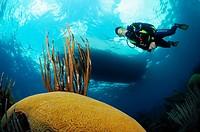 Scuba diver hovers over brain coral, Bermuda Island, Atlantic