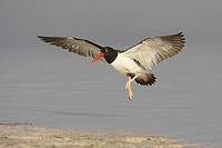 American Oystercatcher Haematopus palliatus adult, in flight, landing on beach, Fort de Soto, Florida, U S A