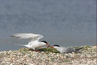 Common Tern Sterna hirundo adult pair, food pass at nestsite, Texel Island, Netherlands