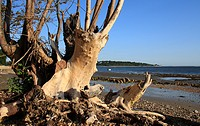 Tree stump on beach with incoming tide, Bembridge, Isle of Wight, England, june