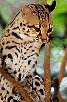 Margay wild cat in tree, Roatan, Bay Islands, Honduras