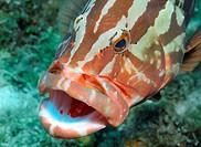 Nassau grouper at cleaning station, Roatan, Bay Islands, Honduras