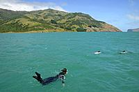 Diver swimming with dolphins off the shore of Banks peninsula, South Island, New Zealand, Oceania