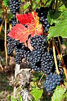 Europe, Germany, Rhineland_Palatinate, Bad Neuenahr_Ahrweiler, Red wine hiking trail with bunches of grapes in vineyard, close up