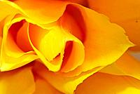 Yellow tulips 8