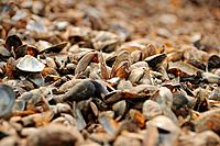 the mussels cockleshells