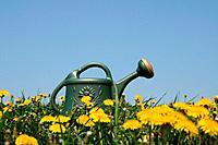 Watering_can in dandelion field