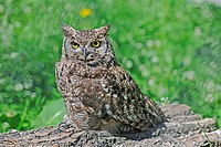 spotted eagle owl Bubo africanus, sitting on a log