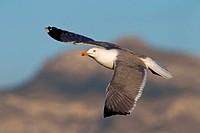 Yellow_legged Gull Larus michahellis, Larus cachinnans michahellis, flying, Spain, Balearen, Majorca