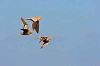 chestnut_bellied sandgrouse Pterocles exustus, three individuals flying, Oman
