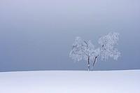 common birch, silver birch, European white birch, white birch Betula pendula, Betula alba, snow covered tree, Germany, North Rhine_Westphalia