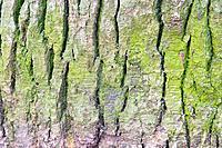green spruce bark