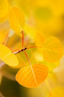 California, Eastern sierras, Beautiful aspen tree displaying vibrant fall colors