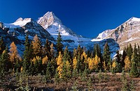 Mount Assiniboine and stand of larch trees in autumn, Mount Assiniboine Provincial Park, British Columbia, Canada.