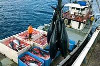 tunny, blue_fin tuna, blue_finned tuna, northern bluefin tuna Thunnus thynnus, fishes hanging at a crane at their tail fins on board of a Japanese fis...
