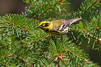 Townsend´s warbler Dendroica townsendi perched on an evergreen branch in Victoria, Vancouver Island, British Columbia, Canada