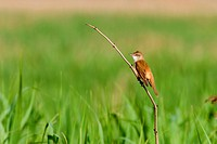 great reed warbler Acrocephalus arundinaceus, sitting on a twig in a meadow, Germany