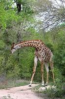 giraffe Giraffa camelopardalis, standing eating between trees on soil ground, Kenya, Krueger National Park
