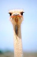 Neck and head of ostrich