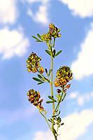 Wild alfalfa