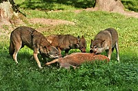 European gray wolf Canis lupus lupus, three wolves feeding on a fallow deer, Germany