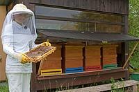 honey bee, hive bee Apis mellifera mellifera, girl in beekeeper clothing controlling honeycombs, Germany